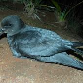 Providence petrel. Adult at breeding colony. Phillip Island, June 2017. Image © Alan Tennyson by Alan Tennyson