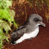 Chatham Island taiko. Adult at burrow entrance. Tuku Nature Reserve, October 2006. Image © Graeme Taylor by Graeme Taylor