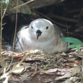 Kermadec petrel. Pale morph adult on nest. Phillip Island, Norfolk Island, November 2016. Image © Ian Armitage by Ian Armitage