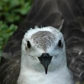 Kermadec petrel. Pale morph adult. North Meyer Islet, Kermadec Islands, April 2008. Image © Chris Gaskin by Chris Gaskin
