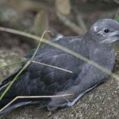Kermadec petrel. Dark morph fledgling. Phillip Island, Off Norfolk Island, April 2012. Image © Philip Griffin by Philip Griffin