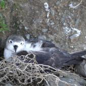 Kermadec petrel. Pale morph adult on nest. North Meyer Islet, Kermadec Islands, April 2008. Image © Steffi Ismar by Steffi Ismar Courtesy of S. Ismar.