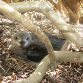 Kermadec petrel. Adult intermediate morph on nest, facing forward. Phillip Island, Norfolk Island, December 2008. Image © Koos Baars by Koos Baars