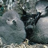 Kermadec petrel. Dark morph adult and chick in nest. South Meyer Island, Kermadec Islands, December 1966. Image © Department of Conservation (image ref: 10037101) by Don Merton, Department of Conservation Courtesy of Department of Conservation