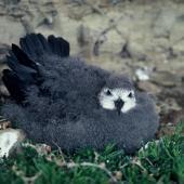 Kermadec petrel. Pale morph chick in nest. Kermadec Islands. Image © Department of Conservation (image ref: 10053818) by P. Bolam, Department of Conservation Courtesy of Department of Conservation