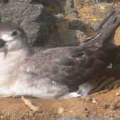 Kermadec petrel. Intermediate morph adult on nest. Raoul Island, Kermadec Islands. Image © Gareth Rapley by Gareth Rapley