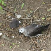 Kermadec petrel. Pale morph adult and chick in nest. Raoul Island, Kermadec Islands. Image © Gareth Rapley by Gareth Rapley