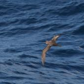 Phoenix petrel. Adult. About 500 km N-NE of American Samoa, October 2008. Image © Ed McVicker by Ed McVicker