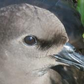 Phoenix petrel. Adult at breeding colony. Kiritimati, Kiribati, February 2015. Image © Ray Pierce by Ray Pierce