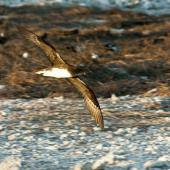 Phoenix petrel. Adult in flight, ventral. Rawaki, Phoenix Islands, January 2008. Image © Mike Thorsen by Mike Thorsen