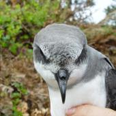 Soft-plumaged petrel. Adult in hand showing forehead. Chatham Island, November 2007. Image © Graeme Taylor by Graeme Taylor