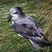 Soft-plumaged petrel. Dorsal view of adult on ground. Reef Point, Antipodes Island, November 1995. Image © Alan Tennyson by Alan Tennyson