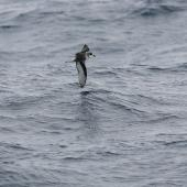 Mottled petrel. Side view of bird in flight. At sea en route to Antipodes Island, December 2009. Image © David Boyle by David Boyle