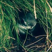 Mottled petrel. At burrow entrance among Poa astonii. Snares Islands, February 1983. Image © Colin Miskelly by Colin Miskelly