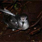 Mottled petrel. Adult at burrow entrance showing crown. Putauhinu Island, Stewart Island, March 2011. Image © Colin Miskelly by Colin Miskelly