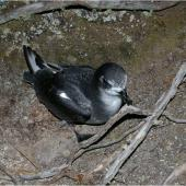Mottled petrel. Adult on ground showing 'face'. Whenua Hou / Codfish Island, December 2011. Image © Colin Miskelly by Colin Miskelly