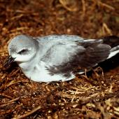 Black-winged petrel. Adult on ground at night. Curtis Island, November 1989. Image © Graeme Taylor by Graeme Taylor