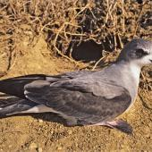 Black-winged petrel. Adult by burrow. Curtis Island, Kermadec Islands, November 1989. Image © Alan Tennyson by Alan Tennyson