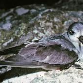 Black-winged petrel. Adult at breeding colony. Rangatira Island, Chatham Islands, January 1984. Image © Colin Miskelly by Colin Miskelly