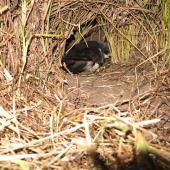 Black-winged petrel. Adult entering burrow. Burgess Island, Mokohinau Islands, February 2013. Image © Alan Tennyson by Alan Tennyson