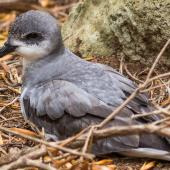Black-winged petrel. Adult at breeding colony. Phillip Island, January 2017. Image © Imogen Warren by Imogen Warren
