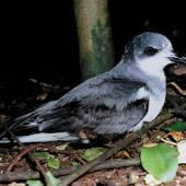 Chatham petrel. Adult. Rangatira Island, Chatham Islands, January 1984. Image © Colin Miskelly by Colin Miskelly