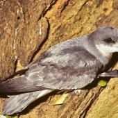 Chatham petrel. Adult at breeding colony. Rangatira Island, Chatham Islands, January 1991. Image © Alan Tennyson by Alan Tennyson