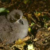 Chatham petrel. Chick. Rangatira Island, Chatham Islands. Image © Department of Conservation (image ref: 10057167) by Don Merton, Department of Conservation Courtesy of Department of Conservation