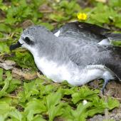 Cook's petrel. Adult showing head and neck markings. Hawai`i - Island of Kaua`i, September 2006. Image © Jim Denny by Jim Denny http://www.kauaibirds.comhttp://www.flickr.com/photos/hawaiibirds/
