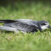 Collared petrel. Grounded fledgling attracted by artificial lights. Te Maruata, Paea, Tahiti, July 2017. Image © Fred Jacq by Fred Jacq