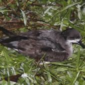 Collared petrel. Intermediate morph adult caught while spotlighting (D115224). Waitabua Hill, Gau Island, Fiji, April 2011. Image © Mark Fraser by Mark Fraser