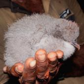Collared petrel. Chick from burrow, post-guard stage. Inland from Qarani Village, Gau Island, Fiji, May 2011. Image © Mark Fraser by Mark Fraser