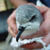 Pycroft's petrel. Head and bill of adult in the hand. Red Mercury Island, December 2009. Image © Graeme Taylor by Graeme Taylor