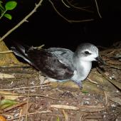 Pycroft's petrel. Adult at breeding colony. Red Mercury Island, December 2009. Image © Graeme Taylor by Graeme Taylor