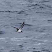 Pycroft's petrel. Adult in flight, presumed to be this species. At sea off Whangaroa Harbour, Northland, January 2011. Image © Jenny Atkins by Jenny Atkins Jenny Atkinswww.jennifer-m-pics.ifp3.com