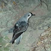Pycroft's petrel. Adult at breeding colony. Red Mercury Island, Mercury Islands, December 1972. Image © Department of Conservation (image ref: 10035653) by Rod Morris, Department of Conservation Courtesy of Department of Conservation