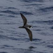 Gould's petrel. Adult in flight (dorsal). At sea off New Caledonia, March 2009. Image © Nigel Voaden by Nigel Voaden http://www.flickr.com/photos/nvoaden/