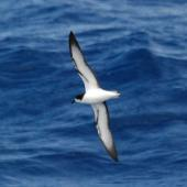 Gould's petrel. Adult in flight (ventral). At sea off New Caledonia, March 2009. Image © Nigel Voaden by Nigel Voaden http://www.flickr.com/photos/nvoaden/