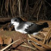 Gould's petrel. Adult at breeding colony. Cabbage Tree Island, November 2016. Image © Dean Portelli by Dean Portelli