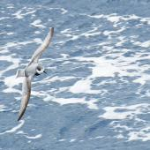 Blue petrel. In flight, dorsal. Drake Passage, November 2018. Image © Cyril Vathelet by Cyril Vathelet