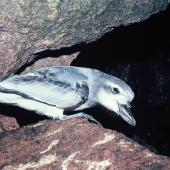 Broad-billed prion. Adult. South Bay, Snares Islands, February 1986. Image © Alan Tennyson by Alan Tennyson