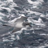 Salvin's prion. Adult in flight. Cooperation Sea, Southern Indian Ocean, December 2011. Image © Sergey Golubev by Sergey Golubev