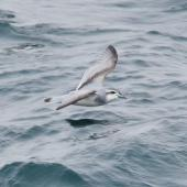 Antarctic prion. Adult in flight. At sea, south from South Georgia, December 2015. Image © Cyril Vathelet by Cyril Vathelet