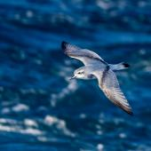 Antarctic prion. Adult in flight, dorsal view. Off coast of Auckland Islands, January 2018. Image © Mark Lethlean by Mark Lethlean