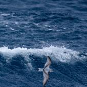 Antarctic prion. Adults in flight, dorsal view. Near Macquarie Island, January 2018. Image © Mark Lethlean by Mark Lethlean