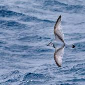 Antarctic prion. Adult in flight, dorsal view. Southern Ocean, February 2018. Image © Mark Lethlean by Mark Lethlean