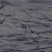 Antarctic prion. Flock in flight. Off north coast of Kerguelen Islands, December 2015. Image © Colin Miskelly by Colin Miskelly