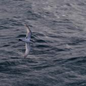 Antarctic prion. Adult in flight. Off north coast of Kerguelen Islands, December 2015. Image © Colin Miskelly by Colin Miskelly