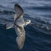 Antarctic prion. Adult in flight (dorsal). Off Tutukaka, July 2018. Image © Oscar Thomas by Oscar Thomas