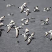 Fairy prion. Flock in flight to new boil-up of feeding fish. Takou Bay, Northland, August 2014. Image © Les Feasey by Les Feasey